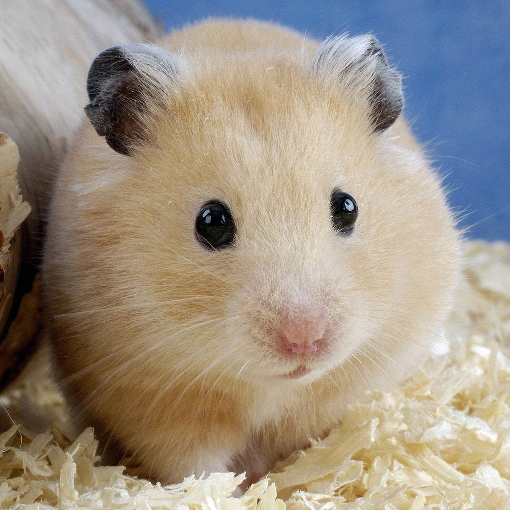 hamster ipad wallpaper background and theme