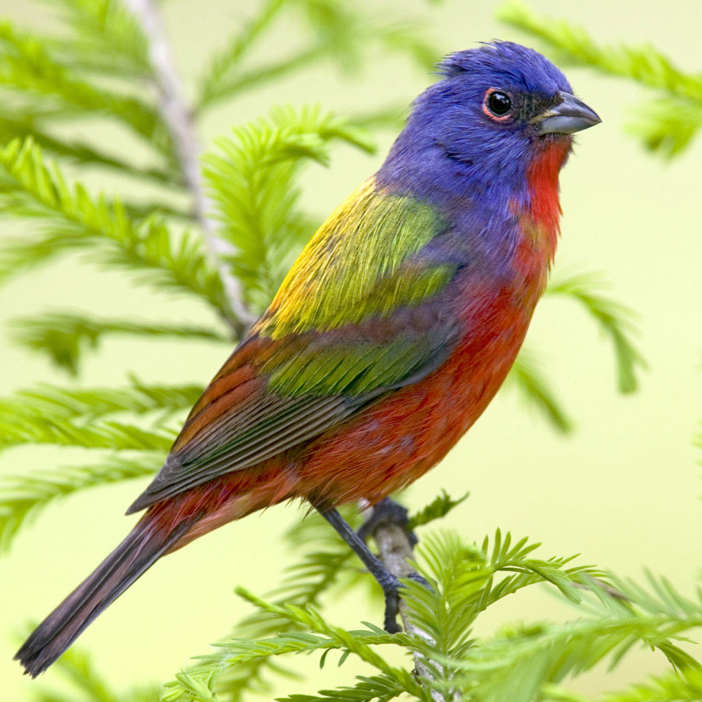 Colorful Bird iPad Wallpaper, Background and Theme